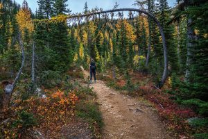 Bent over larch