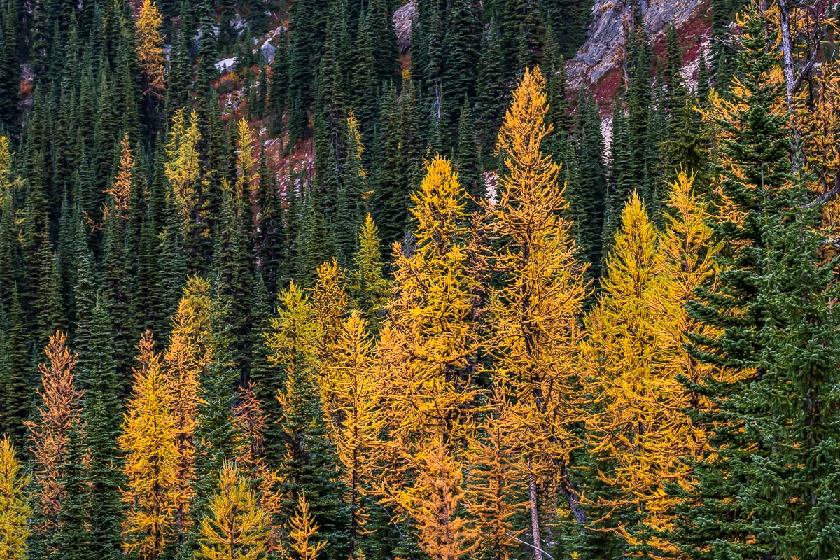 Larches from above on the way to Cutthroat Pass