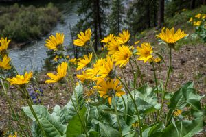 Balsamroot Flowers along the Wenatchee River Trail