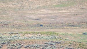 Grizzly bear in the distance
