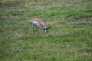Pronghorn grazing on grass