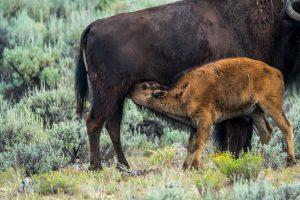 Baby bison feeding on mom