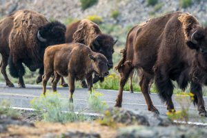 Baby bison walking with herd