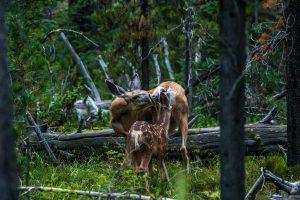 Doe and baby deer